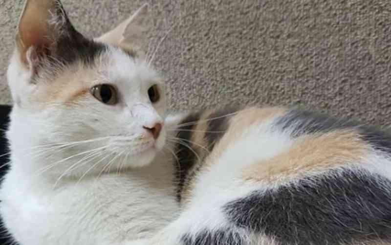 Após campanha, gata que é mascote da Câmara de Goiânia é encontrada