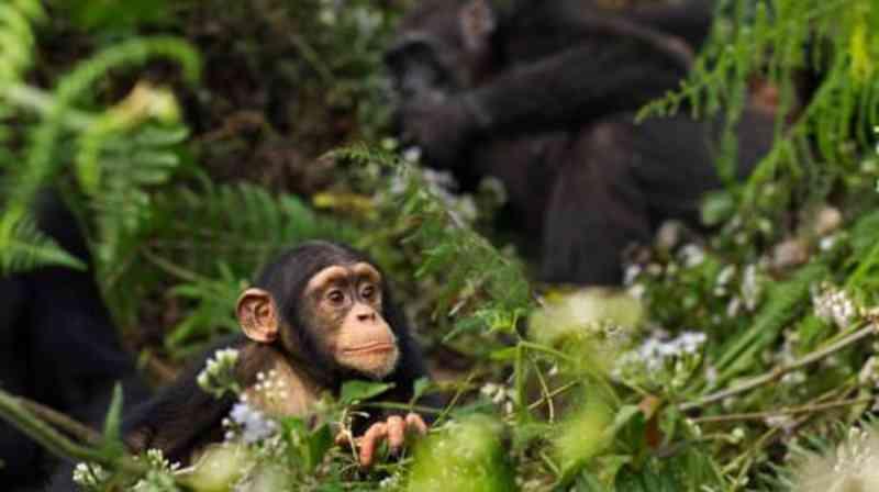 Projeto chinês de barragem na Guiné pode matar até 1.500 chimpanzés