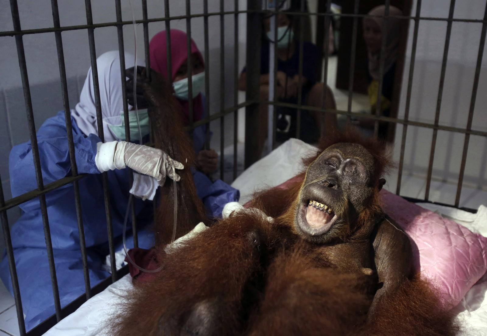 Orangotango fica cega após ser baleada dezenas de vezes na Indonésia