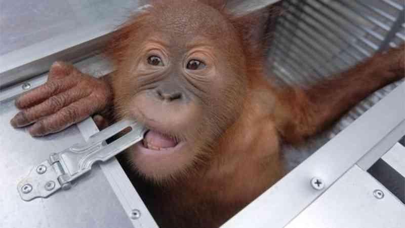 Cidadão russo detido no aeroporto de Bali com orangotango na mala