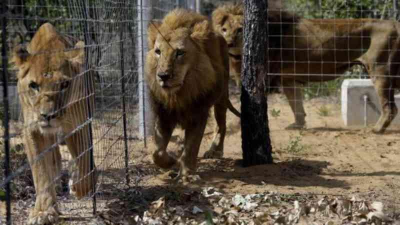 Leões do circo foram devolvidos ao seu habitat graças à Turkish Cargo