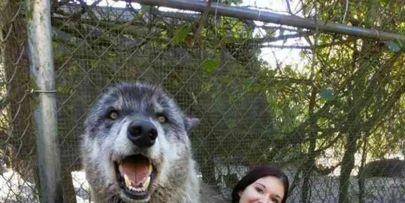 Lobo abandonado após ser criado em cativeiro é adotado e vive como cão