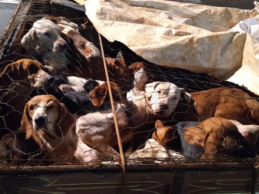 Mais de 30 cães 'de caça' são apreendidos pela Polícia Militar de Meio Ambiente em povoados de Araxá, MG