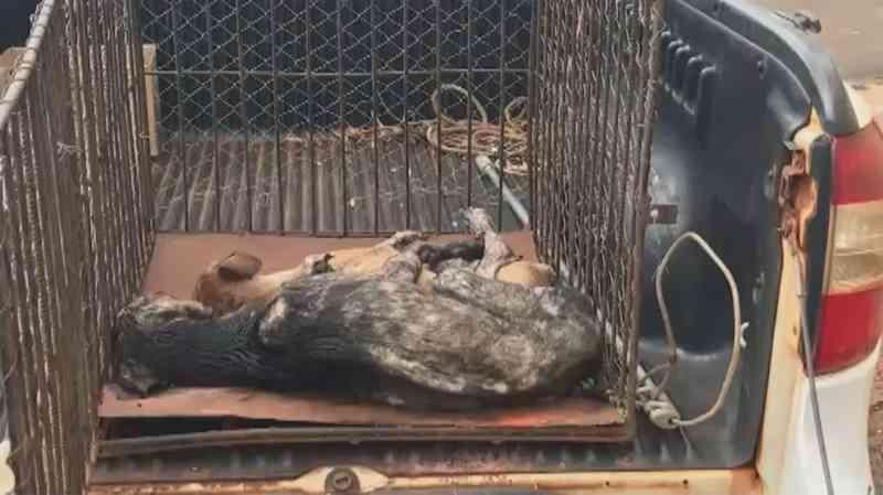 Cidade registrou três casos semelhantes em menos de um mês. Em 2018, mais de 130 animais foram resgatados por serem vítimas de maus-tratos.