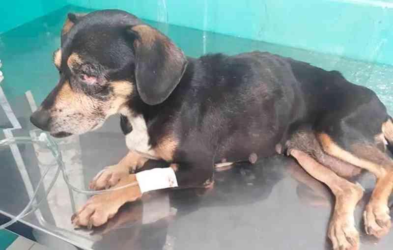 Mesmo cega, cadelinha que teve um olho arrancado e outro furado sobrevive e é adotada em Patos de Minas, MG