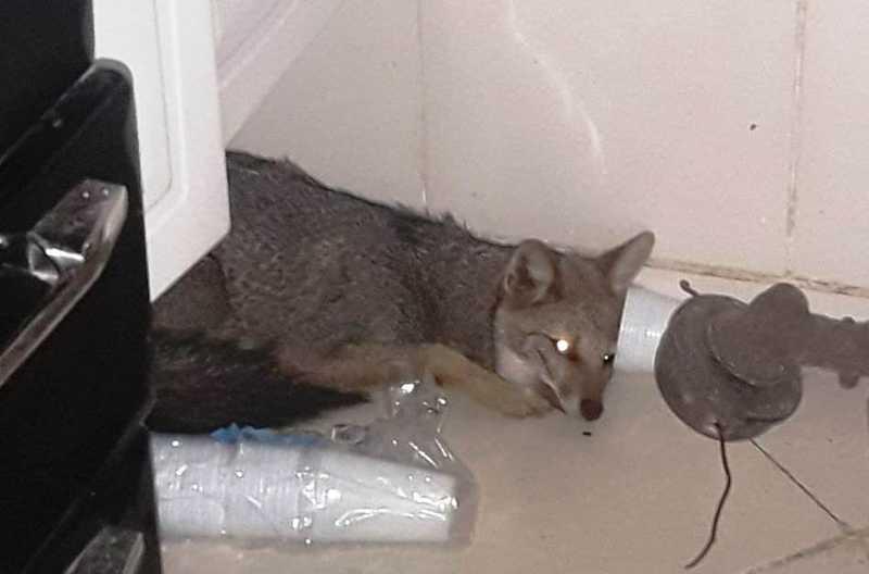 Bombeiros capturam raposa dentro de residência em Uberaba, MG