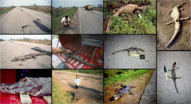 BR-262/MS é mais mortal do país, rodovia tem 3 mil atropelamentos ao ano.( Foto: Reprodução / Wagner Fisher UFMS)