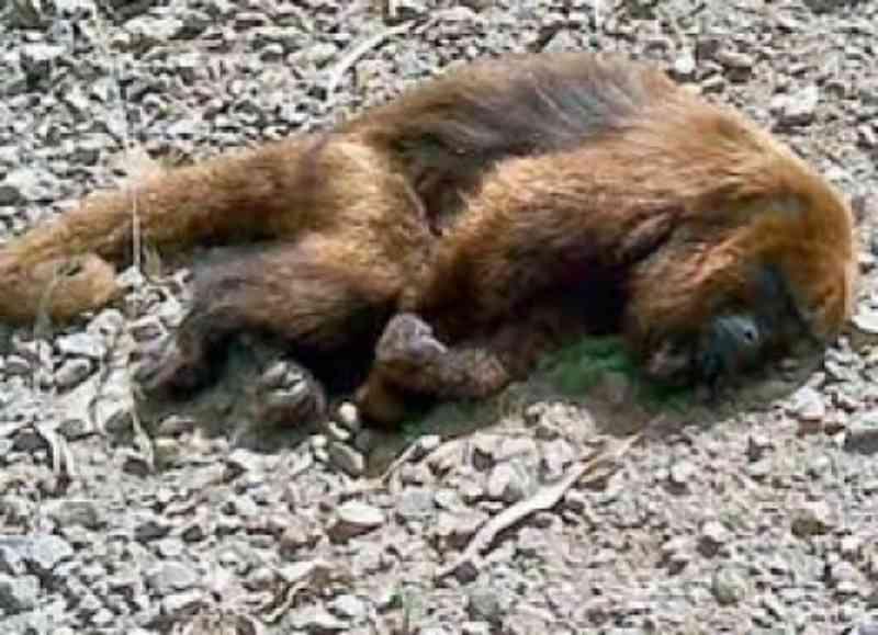 Macacos são alvos desta doença que atinge animais e também humanos. Foto: Ilustração