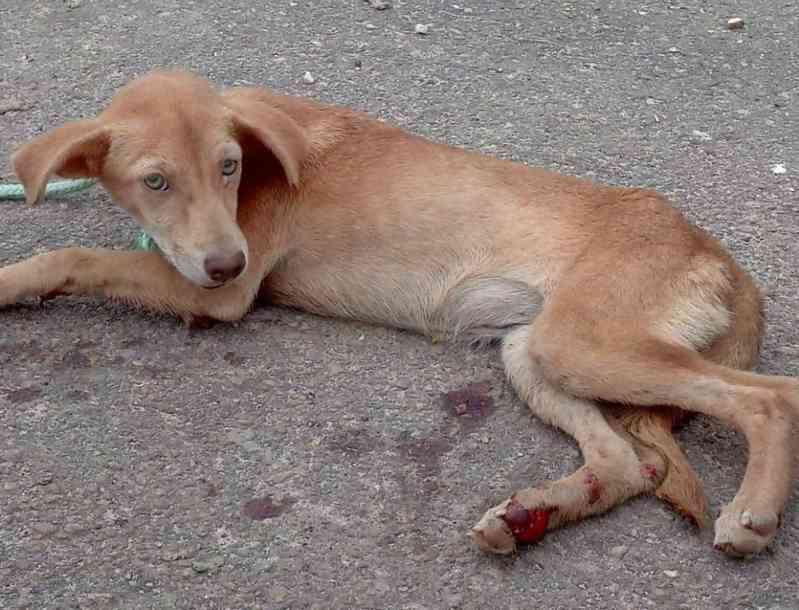 Cachorrinha que foi arrastada por moto em Ananindeua (PA) é adotada e ganha novo lar