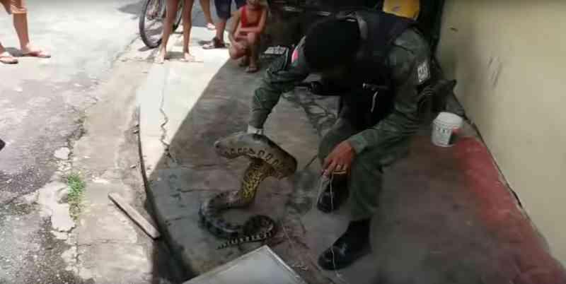 Cobra sucuri de 3,3 metros é resgatada pela Polícia Militar, em Belém. — Foto: Polícia Militar / Pará