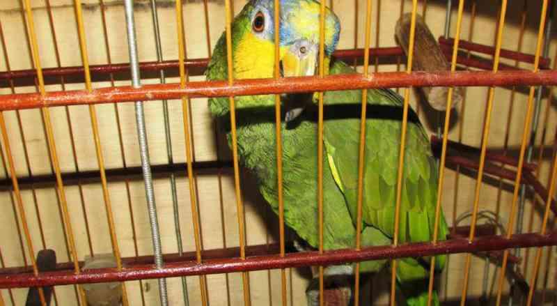 Papagaio é entregue a órgão ambiental após 25 anos de cativeiro em PE