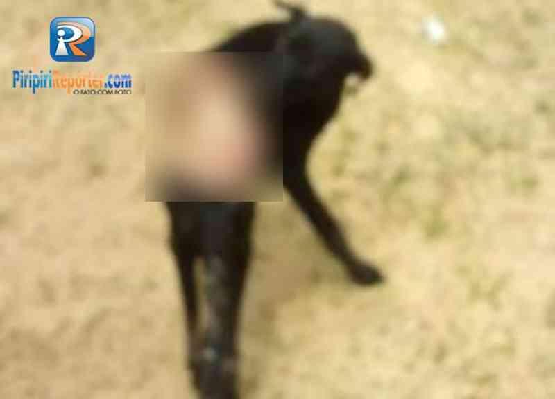 Cadela foi queimada em PIripiri / Crédito: Piripiri Repórter