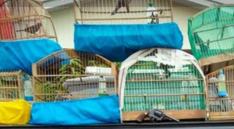 Polícia desarticula criadouro clandestino de pássaros silvestres em Capanema, PR