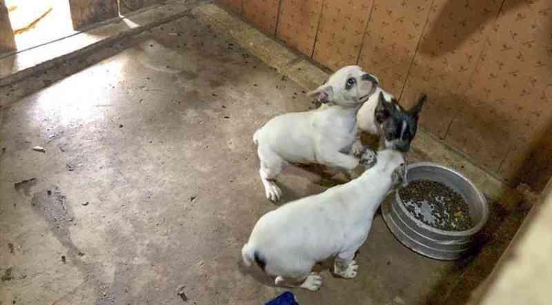 Cães de raça são resgatados em canil clandestino em Curitiba; animais estavam em condições de maus-tratos