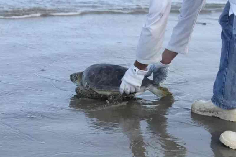 Tartaruga é solta depois de cirurgia e 4 meses de tratamento em Pontal do Paraná, PR