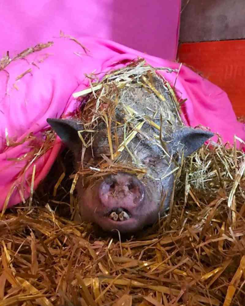 Porca de criação mantida em baia escura por mais de 10 anos e seu leitão são resgatados!