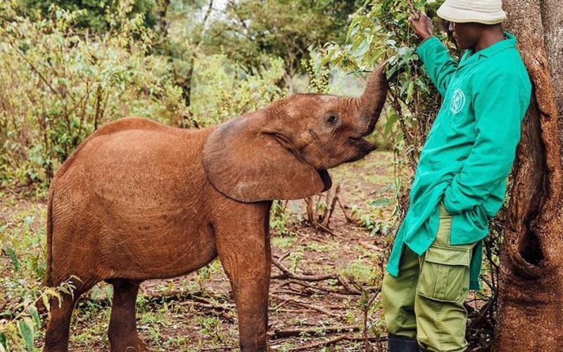 O elefante Maktao foi salvo pelo santuário de animais silvestres no Quênia - Instagram/Sheldrick Wildlife Trust