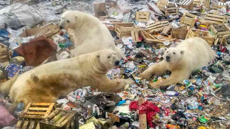 Famintos, ursos polares chafurdando no lixo expõem o problema do degelo