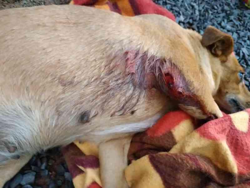 PM atende ocorrência com cão ferido a tiros em Iporã do Oeste, SC