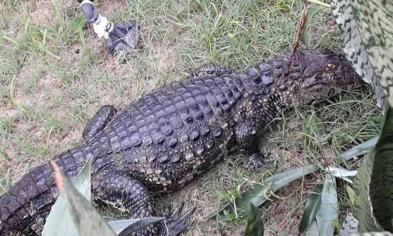 Animal foi localizado na manhã de sábado (9), próximo ao muro da residência (Foto: Glorinha Esteves)