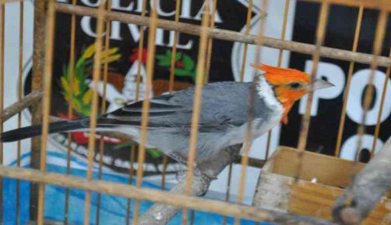 Polícia localiza 44 aves silvestres em operação contra o tráfico ilegal de animais em Joinville, SC