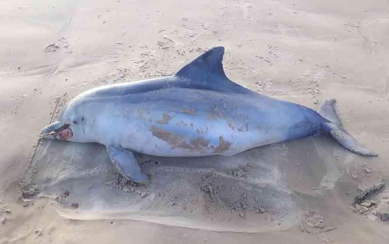 Boto encontrado no litroal da Barra dos Coqueiros (SE) — Foto: FMA