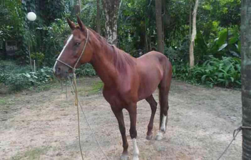 GCM de Diadema (SP) prende acusado de maltrato a cavalo