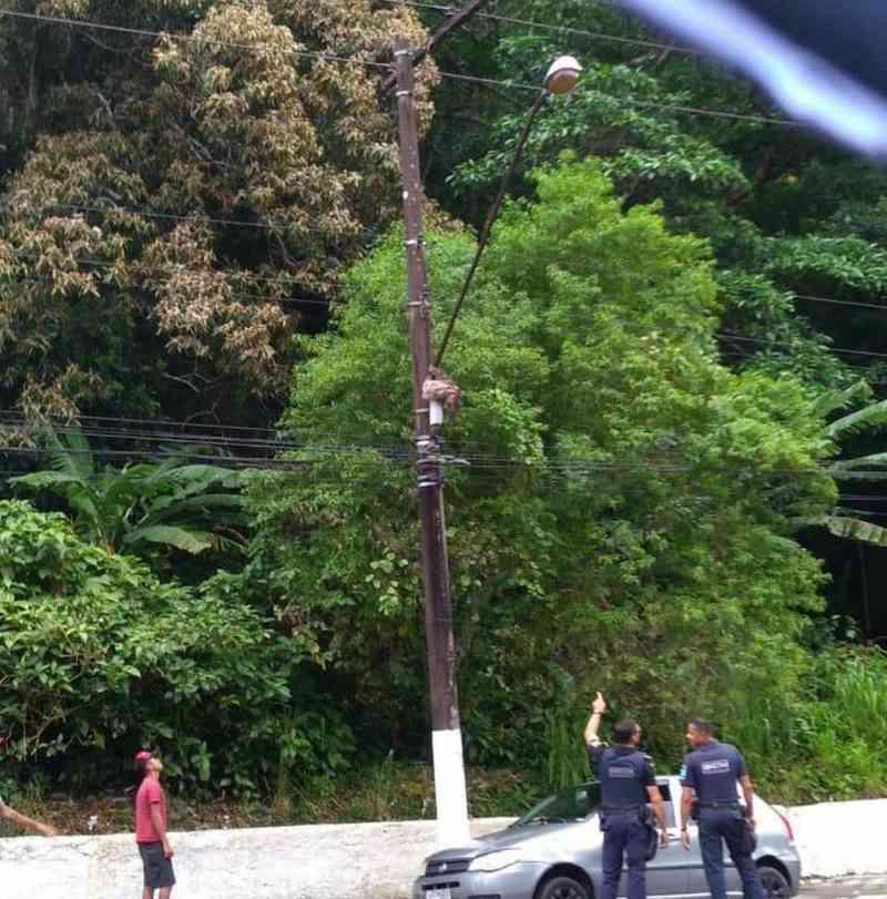 Bicho-preguiça é resgatado após ficar pendurado em poste no litoral de SP; vídeo
