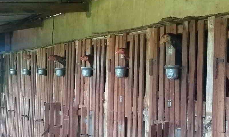 Polícia Ambiental apreende rinha de galos — Foto: Divulgação/PM Ambiental