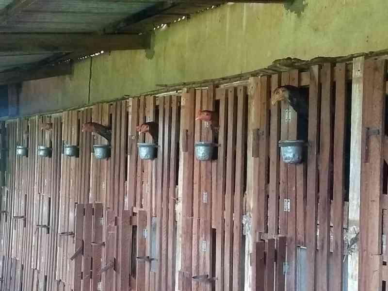 Polícia fecha rinha de galo durante fiscalização em fazenda de João Ramalho, SP