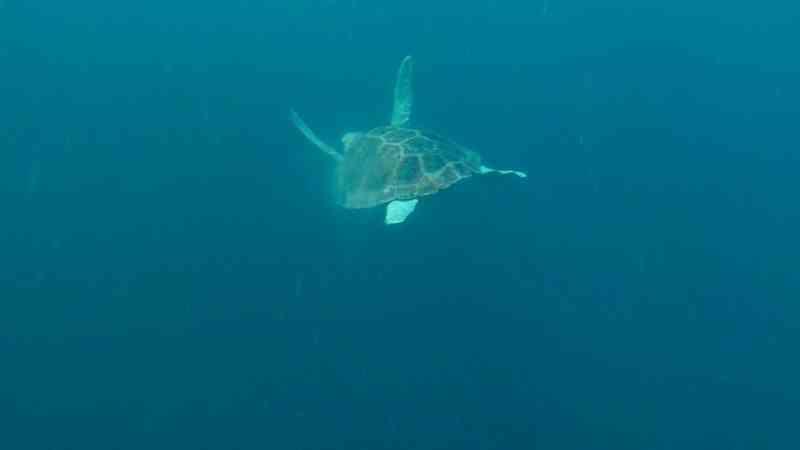 Vídeo mostra soltura de tartaruga reabilitada em Ubatuba, SP; veja