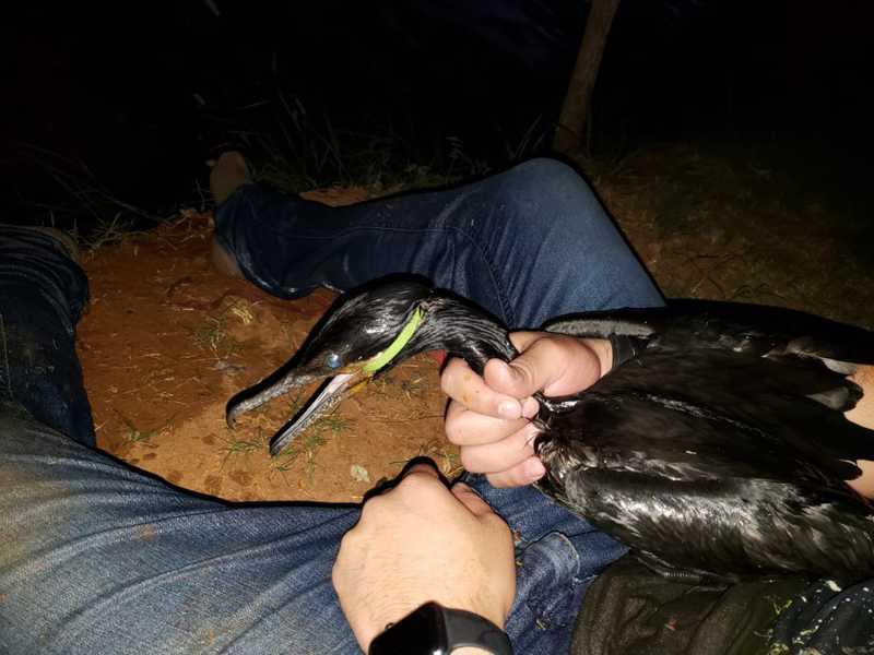 Ave com lacre enroscado no bico é resgatada em Araçoiaba da Serra, SP