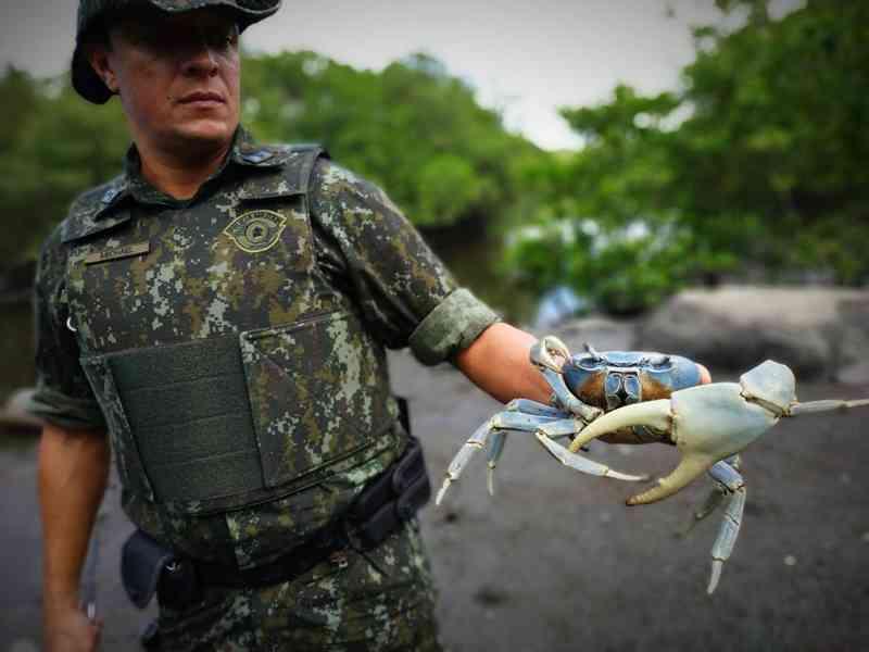 Caranguejo estava sendo comercializado na sua época de defeso em feira de Guarujá, SP — Foto: Divulgação/Polícia Militar Ambiental