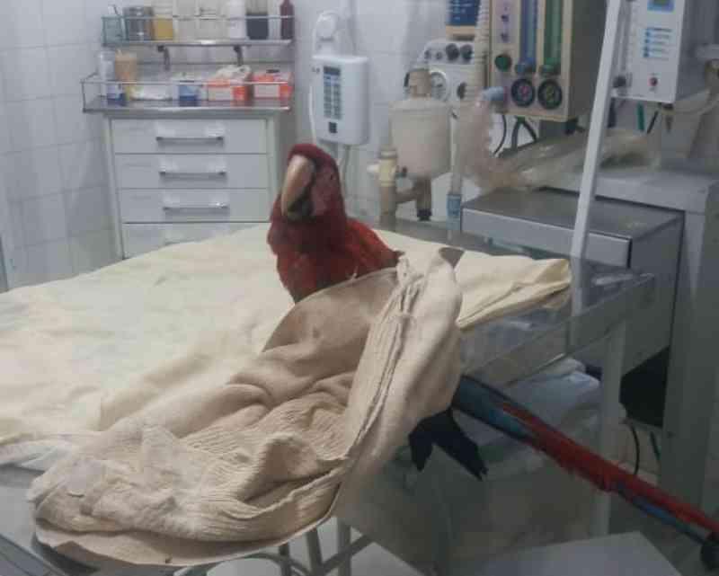 Arara-vermelha é resgatada às margens da rodovia BR-153 entre Icém e Fronteira, SP