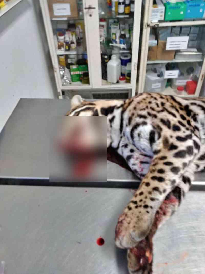 A jaguatirica, um macho adulto, foi resgatada e encaminhada à Unesp, mas não resistiu e morreu. Unesp Botucatu/Divulgação