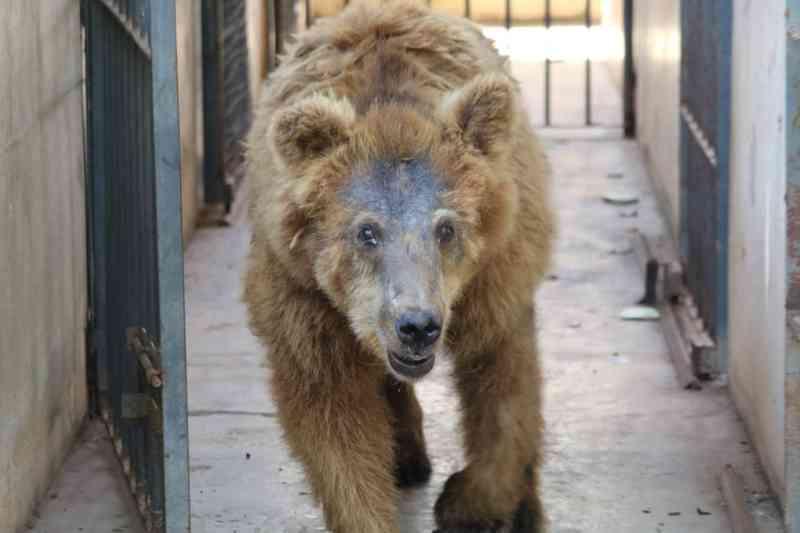 Ursa parda que viveu no Zoobotânico de Teresina — Foto: Andrê Nascimento/G1 PI