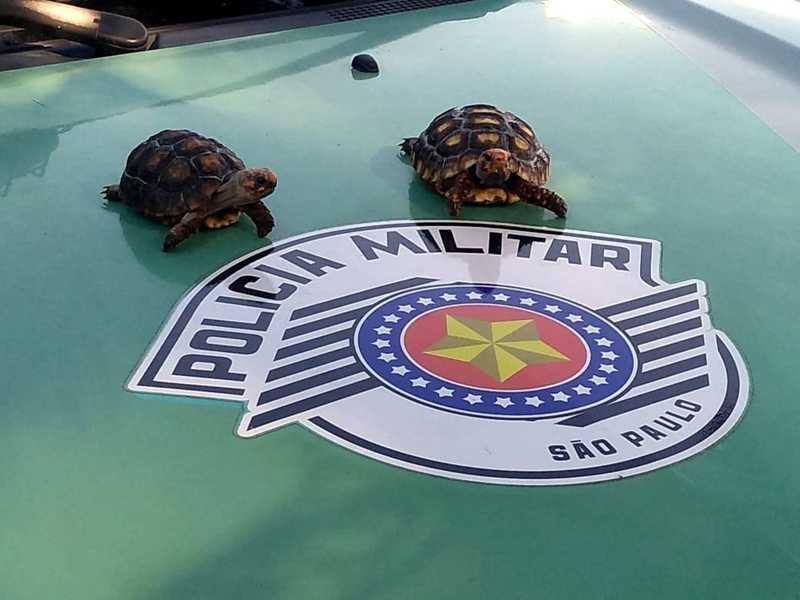Jabutis recuperados em Pirassununga — Foto: Polícia Ambiental/Divulgação