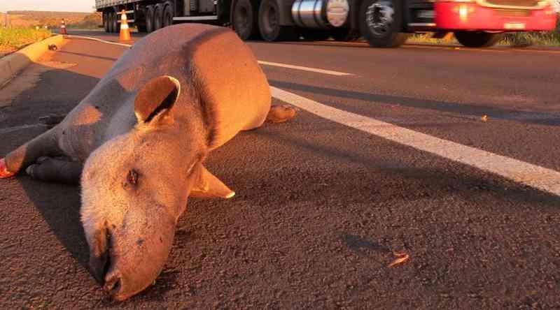 Animal atropelado em estrada do Mato Grosso do Sul – Foto: Arquivo pessoal/Fernanda Abra
