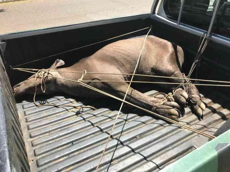 Anta fica cega após ser ferida por caçadores e é resgatada