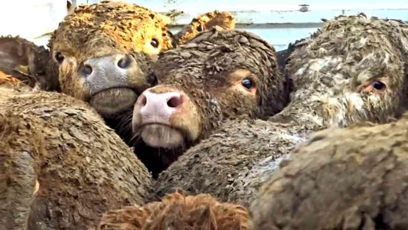 Da exportação de gado vivo: desmandos de uma República cruel com seus animais