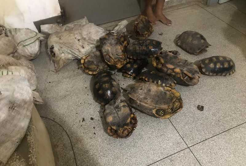 Em apenas uma semana, polícia apreende 130 jabutis em cidade do interior do Acre — Foto: Divulgação PM