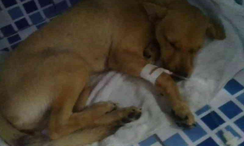Cachorro resgatado do Educandos é agredido com paulada na cabeça em Manaus, AM