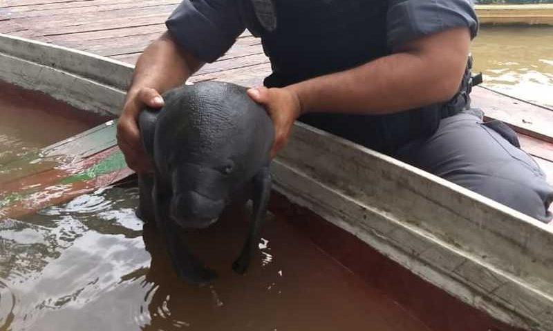 Peixe-boi resgatado no AM — Foto: Divulgação