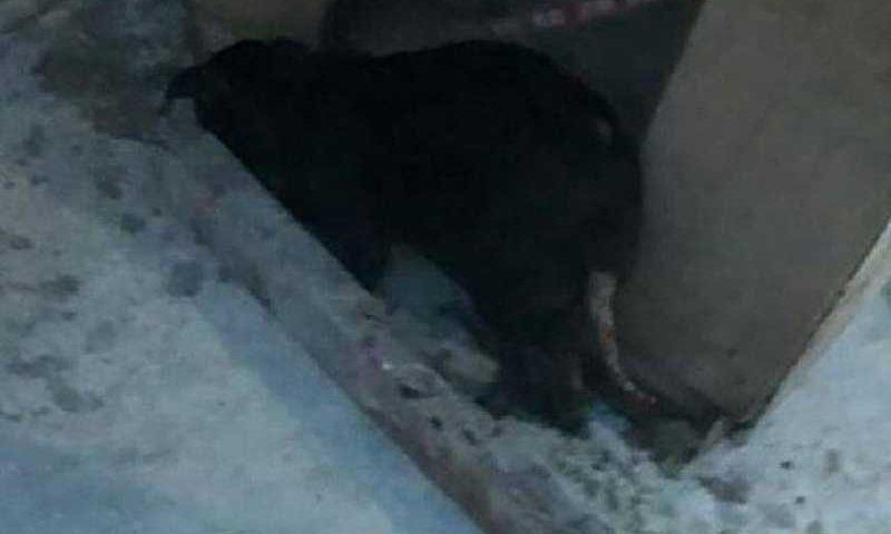 Morte de cadela comunitária a pauladas em Manaus é denunciada por protetores e Comissão