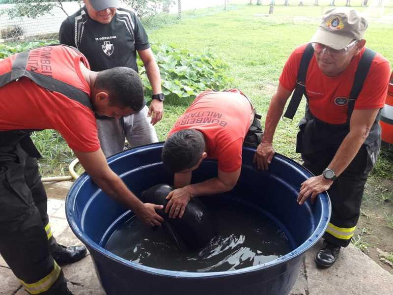 Filhote de peixe-boi é encontrado por pescadores em Silves, no interior do AM