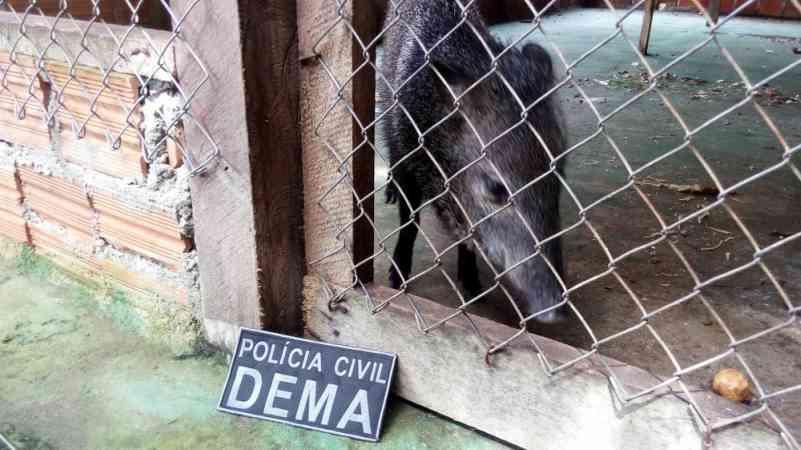 Pacas, porco-do-mato, cutia e veado mantidos em cativeiro ilegal são resgatados no AP