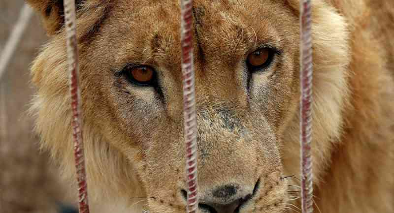 Chacina de leões: investigação expõe comércio repugnante de felinos na África do Sul