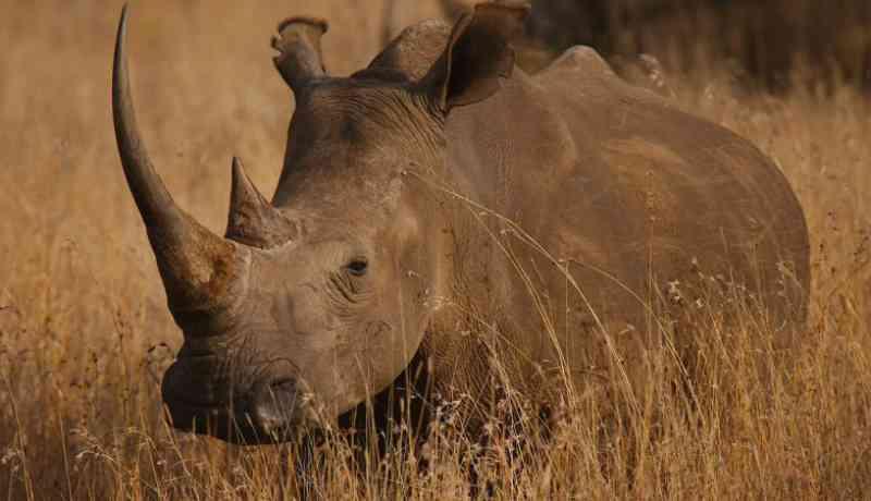 Rinocerontes ameaçados estão agora protegidos por dados analíticos