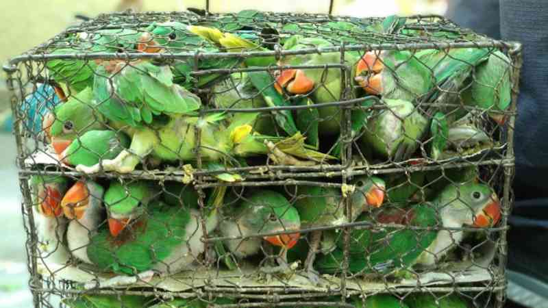 Centenas de aves são encontradas em pequenas gaiolas lotadas na Índia