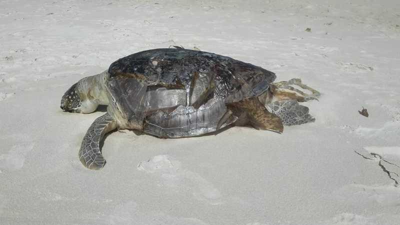 Tartaruga foi encontrada morta na praia de São Domingos, em Ilhéus, no sul da Bahia, no domingo (14) — Foto: Projeto A-mar / Divulgação